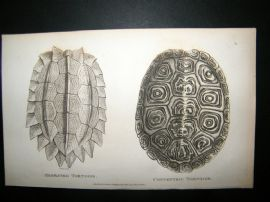 Shaw C1810 Antique Print. Serrated & Concentric Tortoise